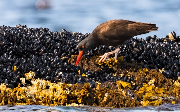 black oystercatcher foraging mussel bed