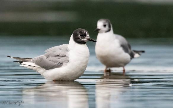 Chignik Bonaparte's Gull first year