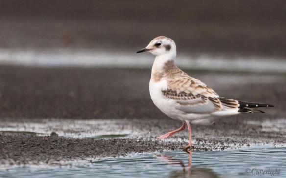Chignik Bonaparte's gull juvenile
