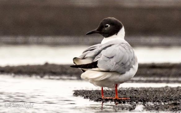 Chignik Bonaparte's Gull