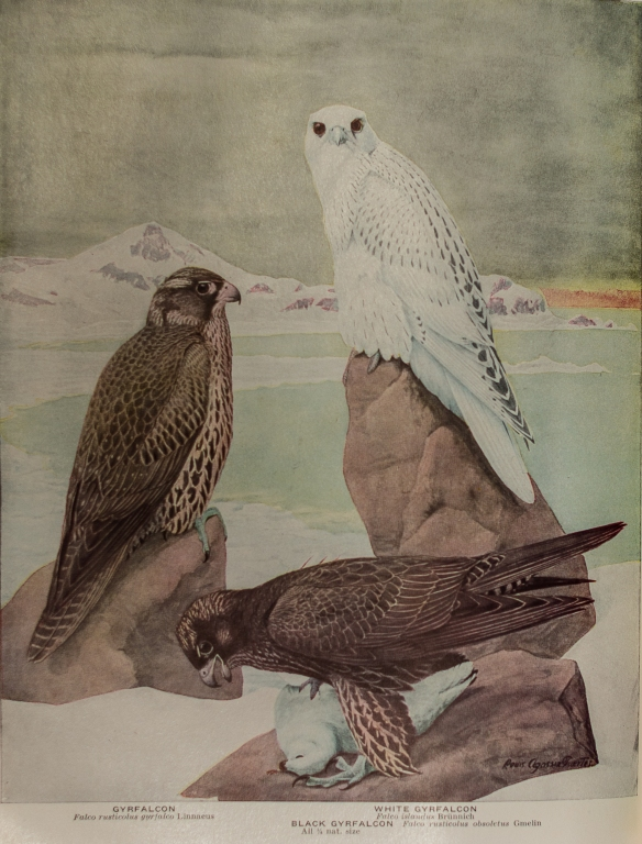 Gyrfalcons Louis Agassiz Fuertes Birds of America