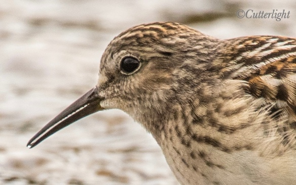 least sandpiper serrated bill