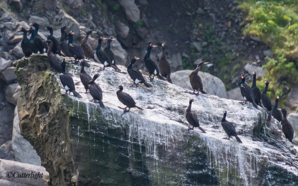 Chignik red-faced cormorant