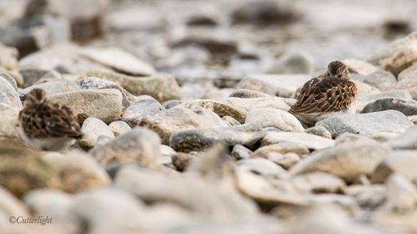 western sandpiper sleeping Chignik River