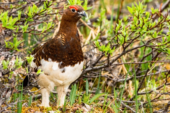 Willow Ptarmigan male