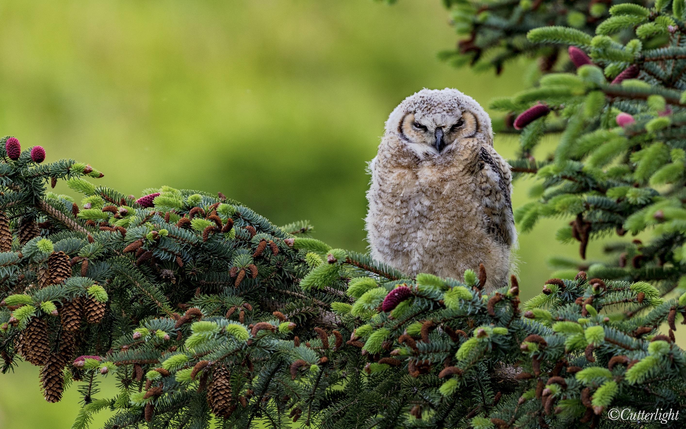 Great Horned Owl Chick Chignik Lake Alaska