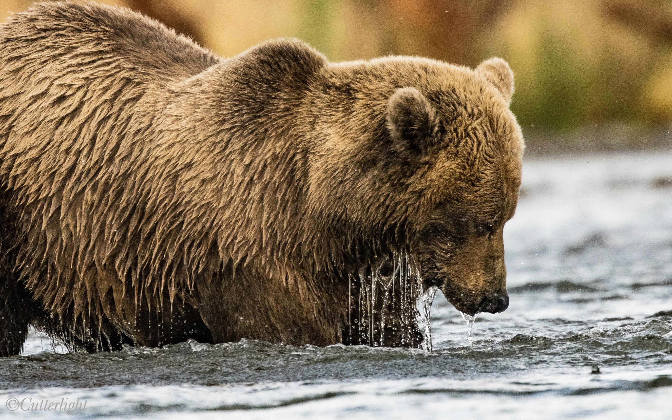 Brown Bear Chignik Alaska