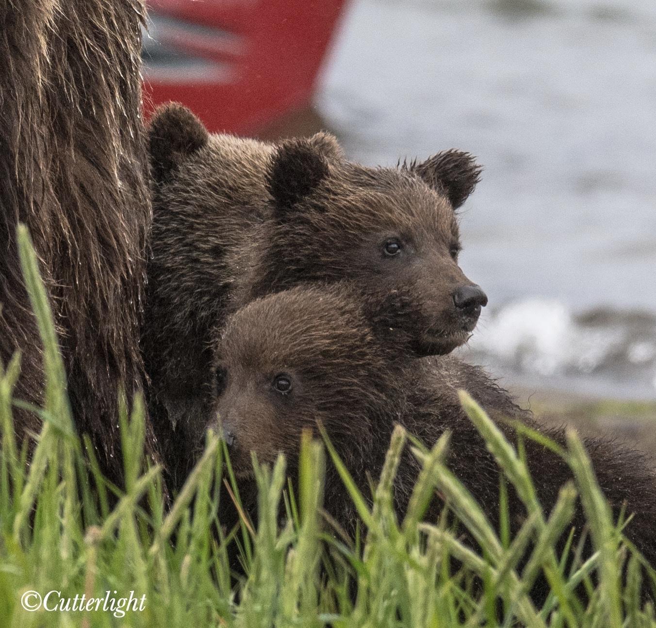 Chignik Lake Brown Bear Cubs