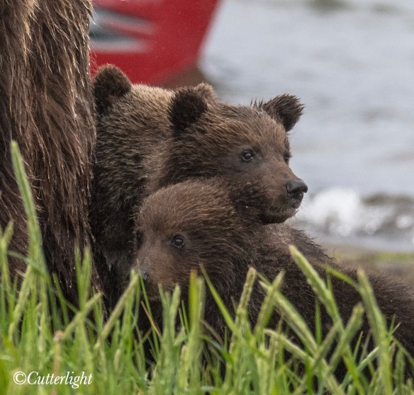 Chignik Lake Brown Bear Cubs
