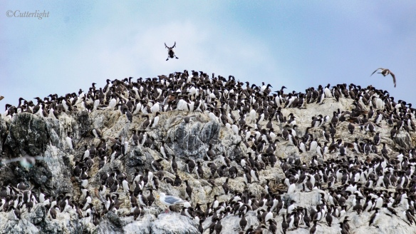 murres on sea stack near Homer Alaska