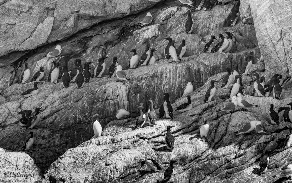 Common Murres on Sea Cliffs Kenai Fjords Alaska