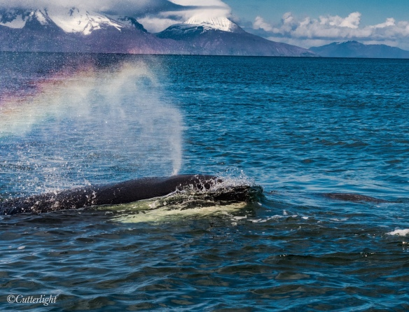 Chignik Alaska Orca Migration Seal Hunting