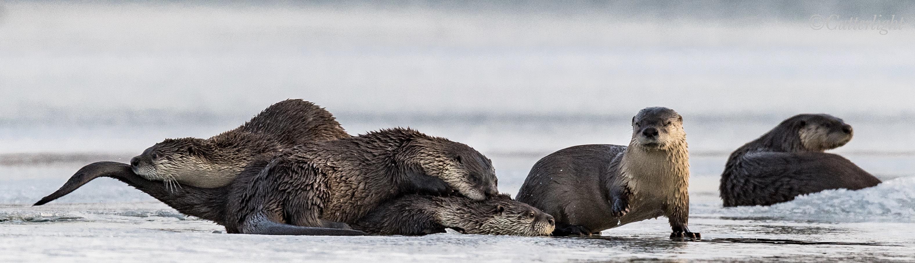 Chignik Lake River Otters