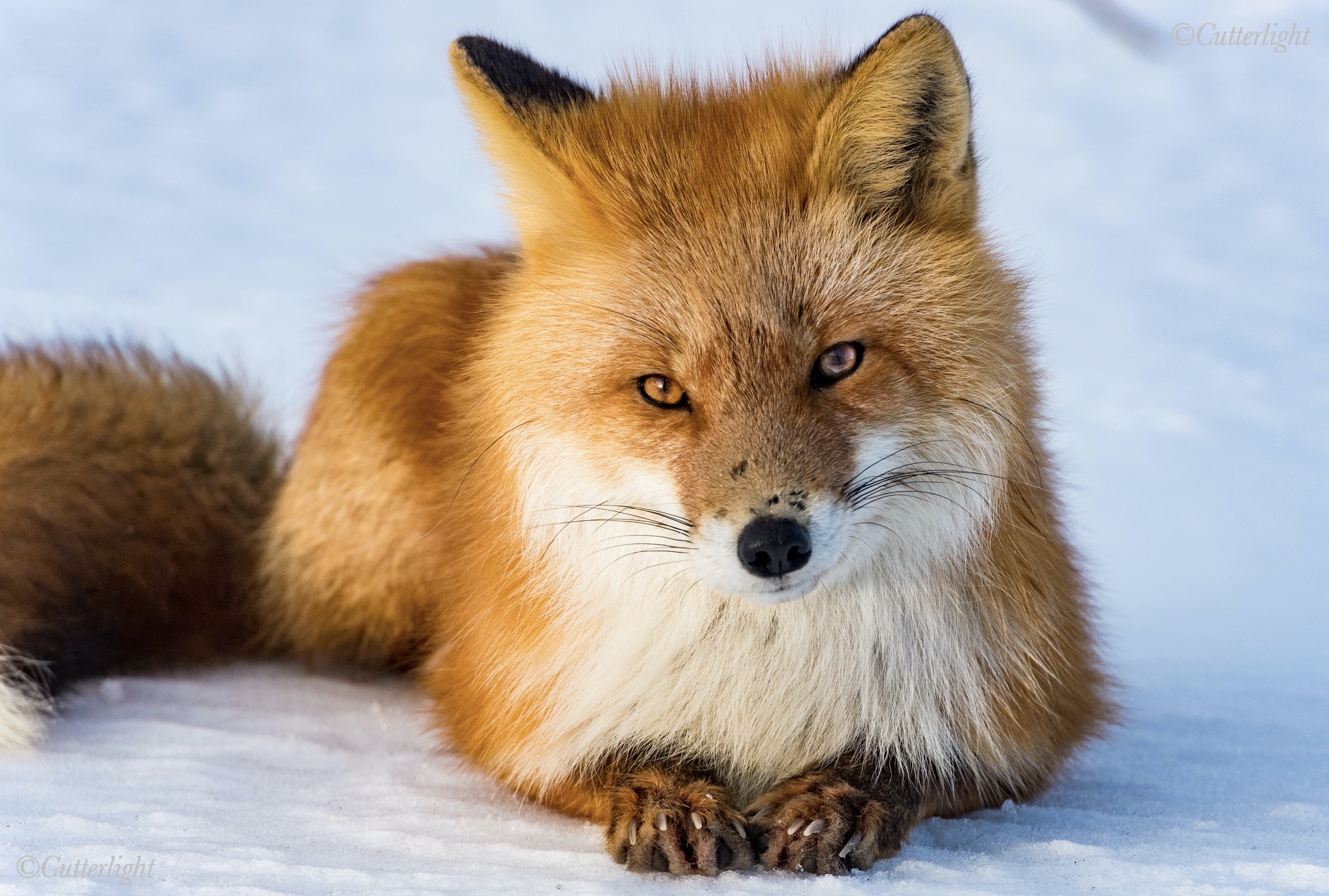 Chignik Lake Alaska Red Fox