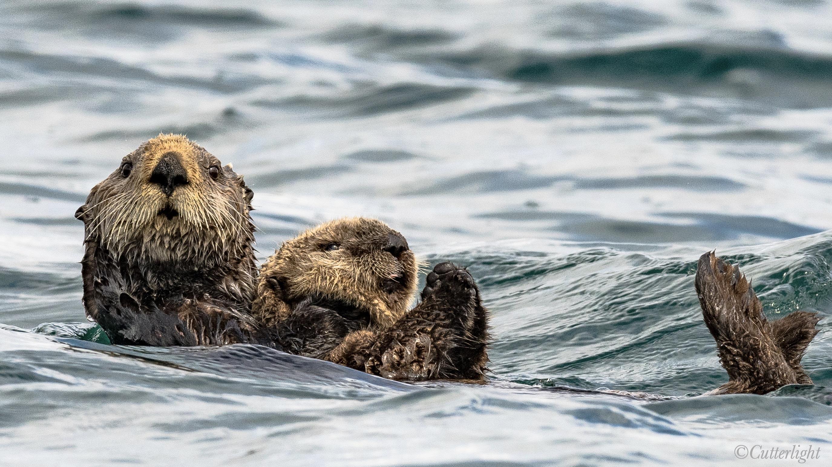 Chignik Sea Otter pup