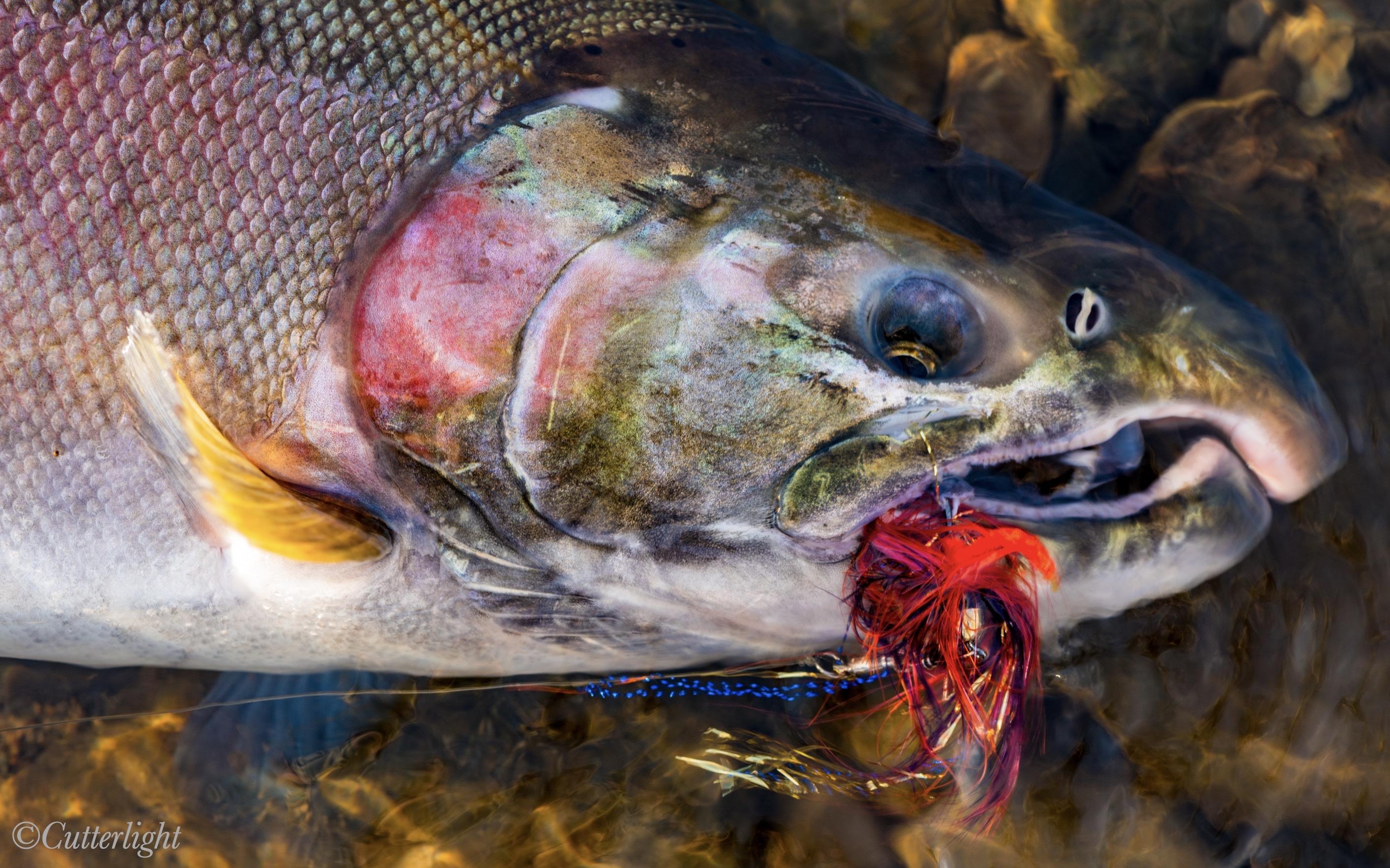 Salmon fishing Chignik