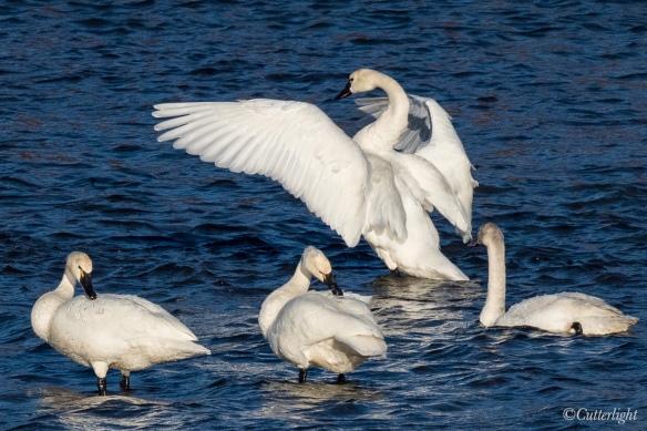 Tundra Swans on Chignik River Alaska
