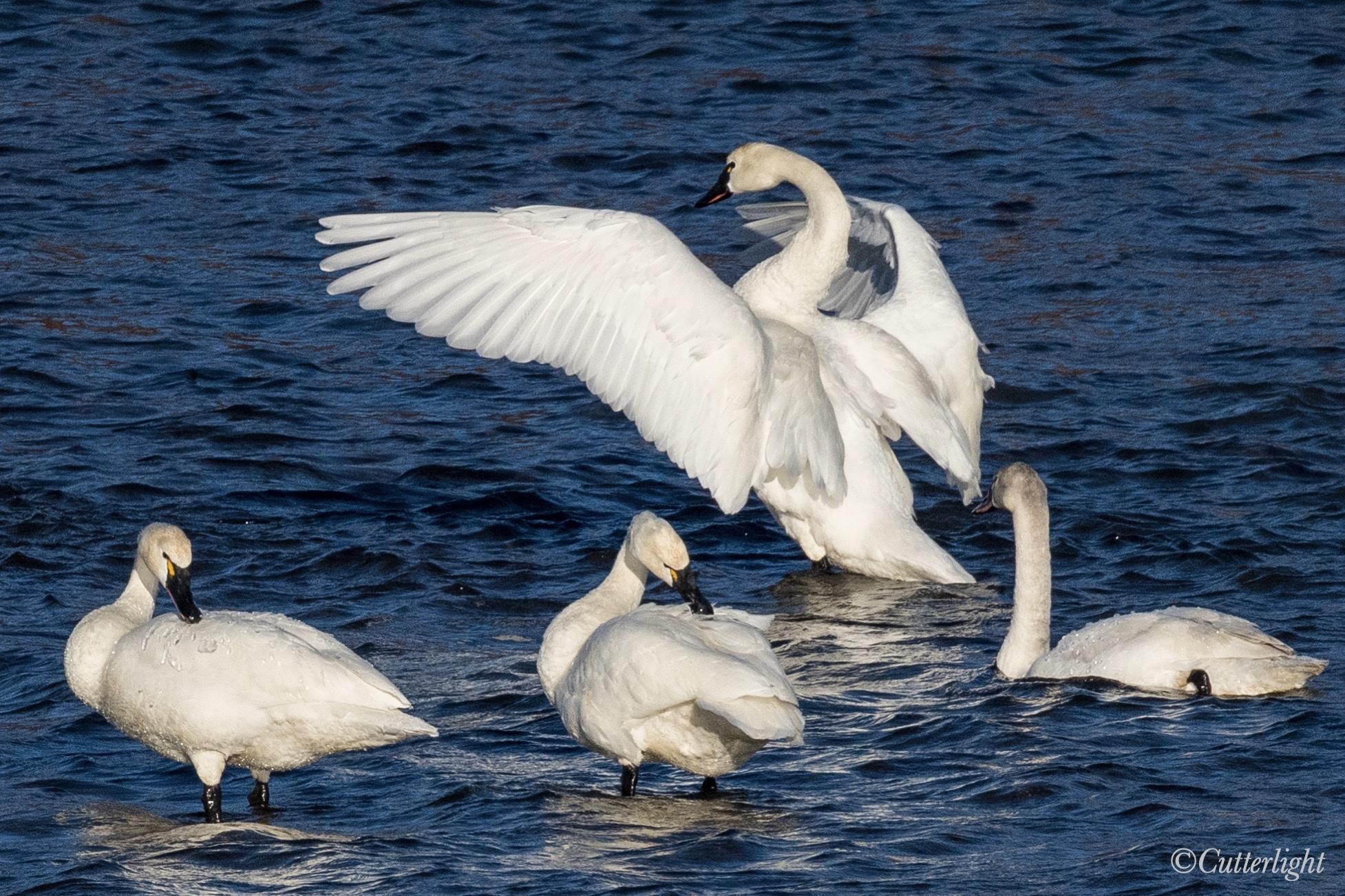 Chignik River Alaska Tundra Swans